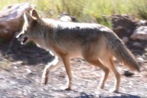 Kojote - alles gieng viel zu schnell ....